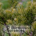 Small image of PSEUDOTAXUS