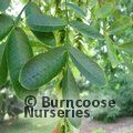 Small image of PTEROCARYA