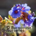 Small image of PULMONARIA