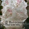 RHODODENDRON 'Beauty of Littleworth