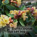 RHODODENDRON 'Golden Wedding'  