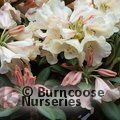 RHODODENDRON 'Grumpy'  