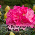 RHODODENDRON 'Hydon Hunter'  