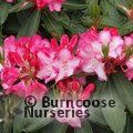 RHODODENDRON 'Lem's Monarch'