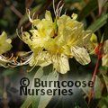 Photo of RHODODENDRON lutescens