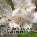 RHODODENDRON minus  