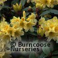 RHODODENDRON 'Saffron Queen'  