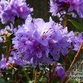 RHODODENDRON 'Saint Merryn'  