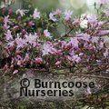 RHODODENDRON serpyllifolium