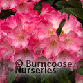 Photo of RHODODENDRON 'Surrey Heath'