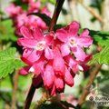 Small image of CURRANTS - see RIBES