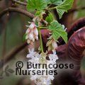 Small image of RIBES