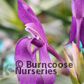 Small image of ROSCOEA
