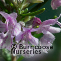 ROSMARINUS officinalis 'Majorca Pink' 