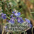 Photo of Rosmarinus officinalis 'Severn Sea' – 1 for £25.00 inc c&p and gift wrap saving £6.00