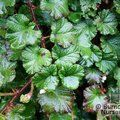 RUBUS tricolor 'Betty Ashburner'