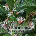 SARCOCOCCA hookeriana var digyna 