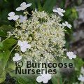 Small image of SCHIZOPHRAGMA