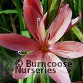 Small image of HESPERANTHA