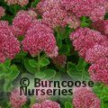 SEDUM spectabile 'Autumn Joy'
