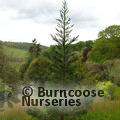 Small image of SEQUOIADENDRON