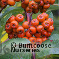SORBUS aucuparia 'Sheerwater Seedling'