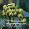 SORBUS hemsleyi  
