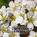 SPIRAEA cinerea 'Grefsheim' 