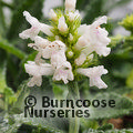 Small image of STACHYS
