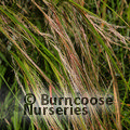 Small image of STIPA