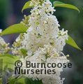 Syringa vulgaris 'Primrose'  for £35  inc C&P saving £3.50
