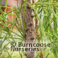 Small image of TAXODIUM