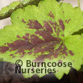 Small image of TIARELLA