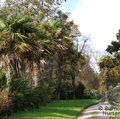 Small image of TRACHYCARPUS