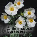 Small image of TREE POPPY - see ROMNEYA