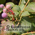 Small image of VACCINIUM