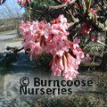 VIBURNUM fragrans