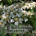 VIBURNUM plicatum 'Mariesii' 