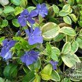 VINCA minor 'Aureovariegata' 