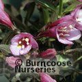 WEIGELA florida 'Foliis Purpureis'