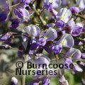 WISTERIA floribunda 'Harlequin' 
