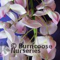 WISTERIA floribunda 'Lipstick' 