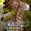 WISTERIA floribunda 'Rosea'