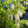 WISTERIA sinensis 'Alba' 