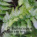 HARDY FERNS woodwardia fimbriata