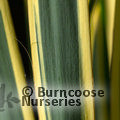 Small image of YUCCA