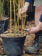pruning & tidying bamboo