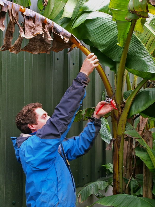 How to care for banana trees