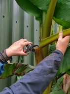 4. Cut back close to the stem using a sharp pair of secateurs.