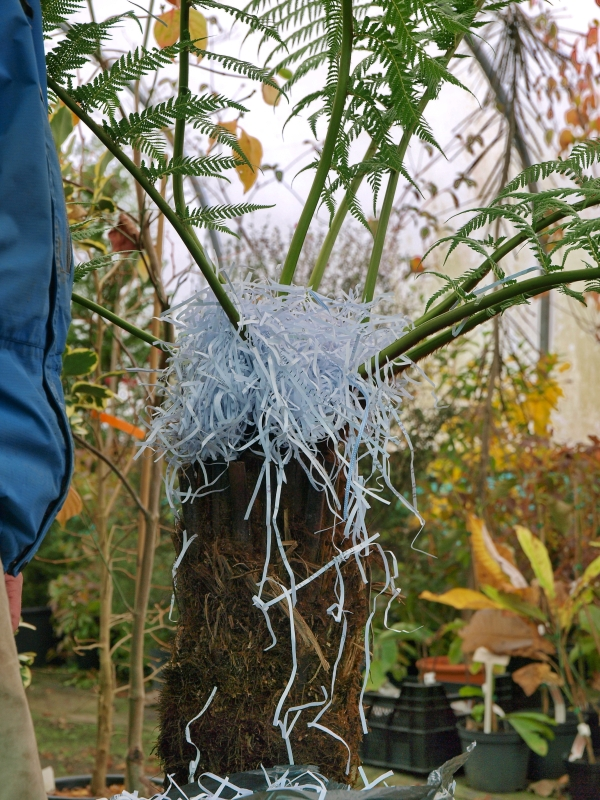 How to Care for Tree Ferns - Burncoose Nurseries